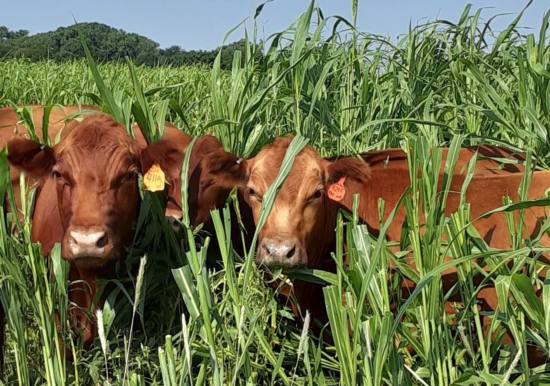 Cattle grazing in Kansas