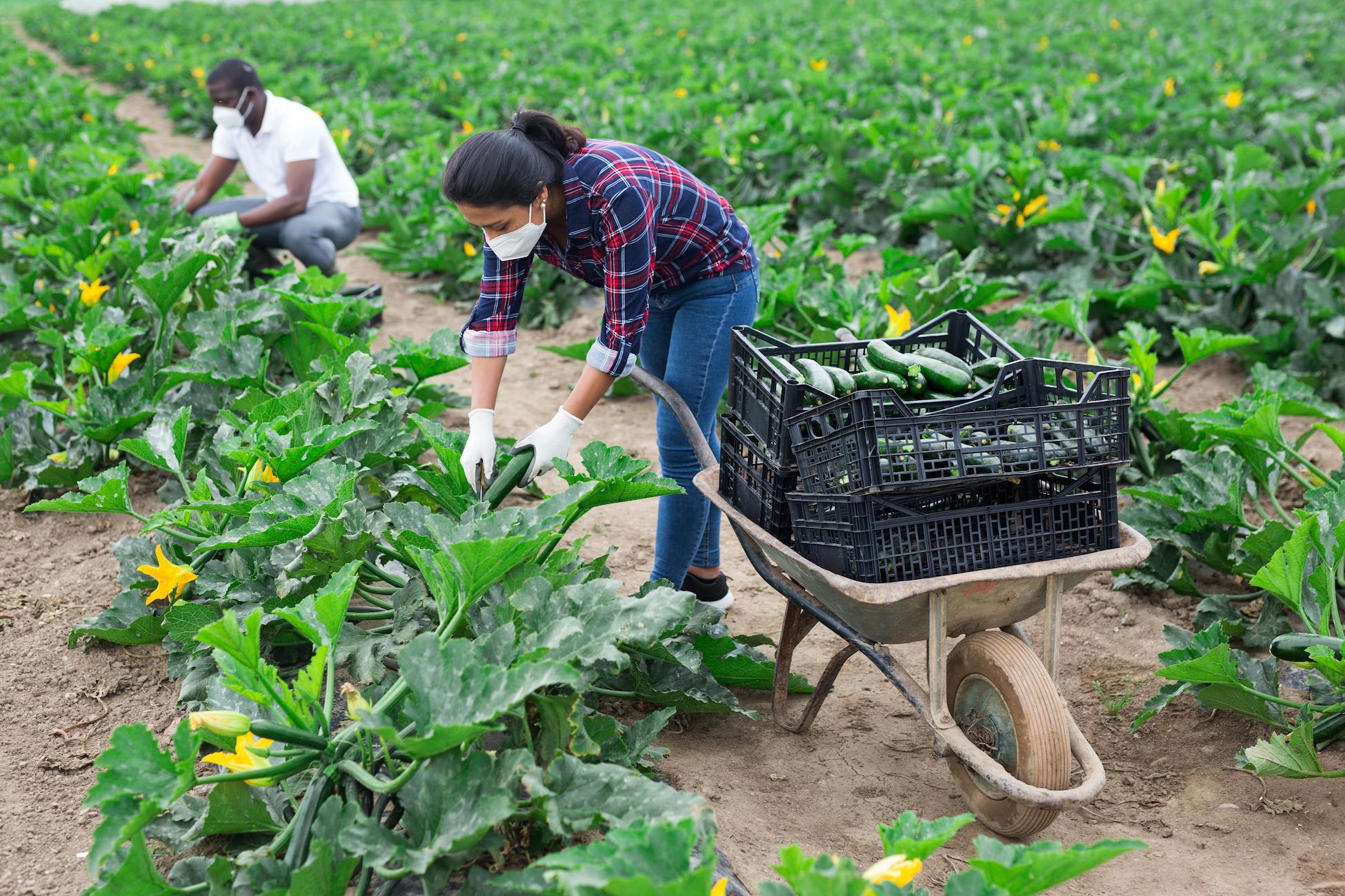 Farmworkers harvesting zucchini