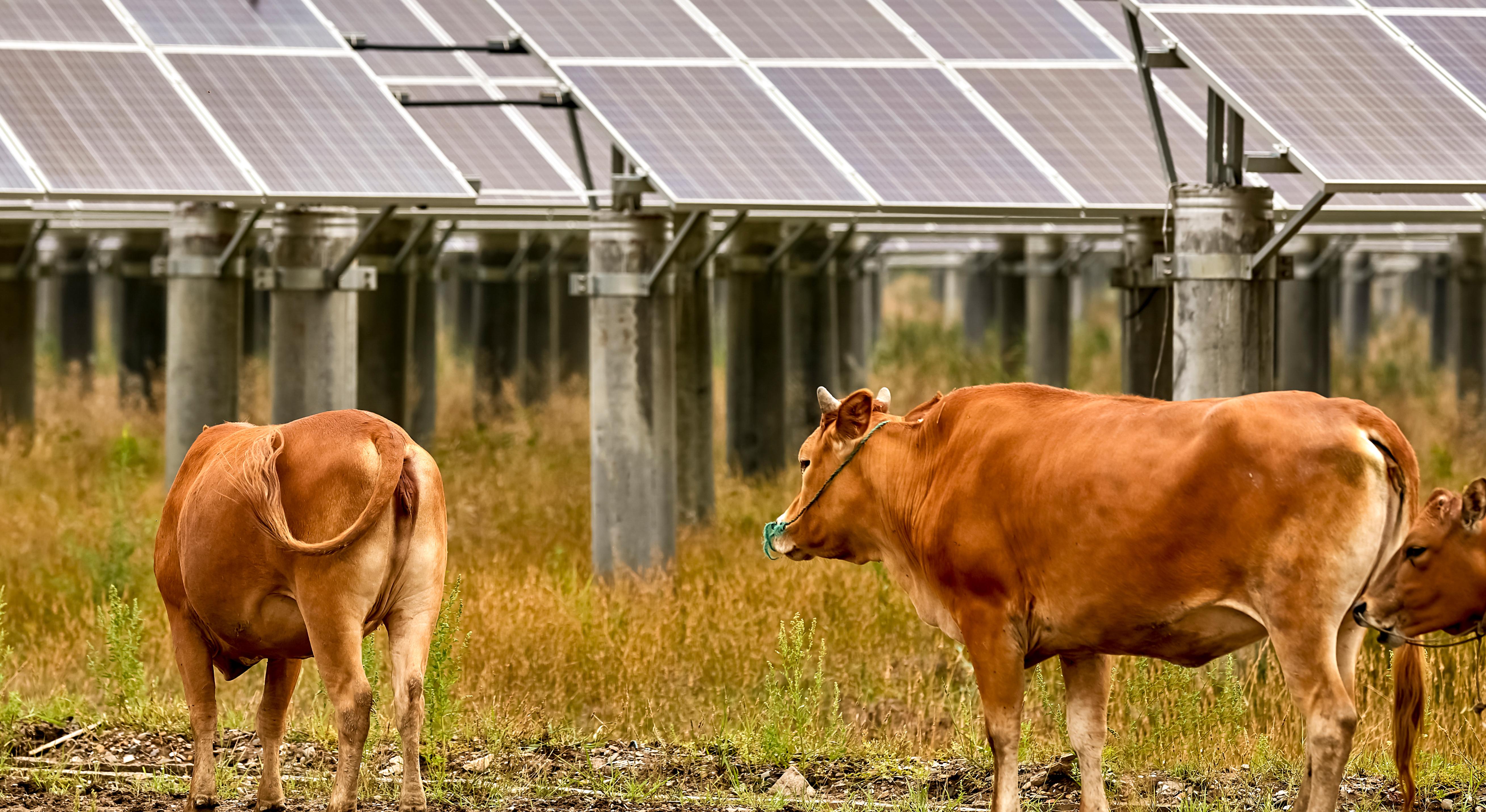 Cows near solar panels