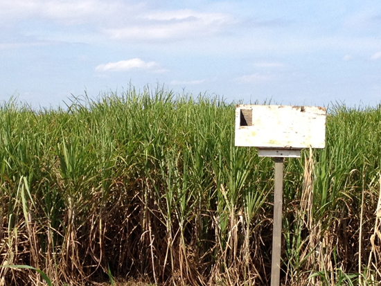Sugar cane field, with a home built for an owl