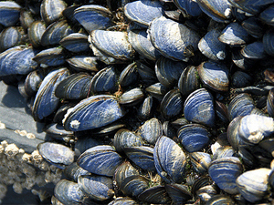 mortar adhesive from mollusk shell mussel Feasibility of mussel shells in making hollow  in the biomineralization of the mollusk shell  the byssal threads of the mussel are so adhesive that they.