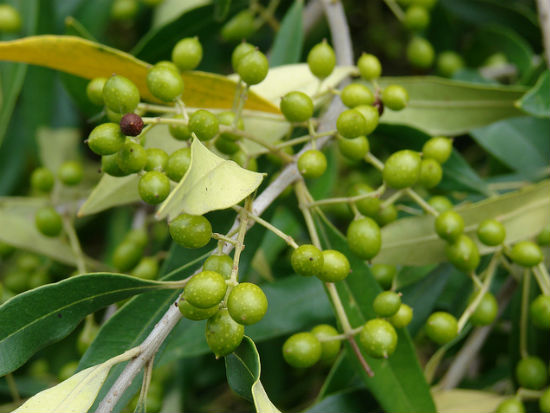 Indian olive image by Forest and Kim Starr via Flickr.