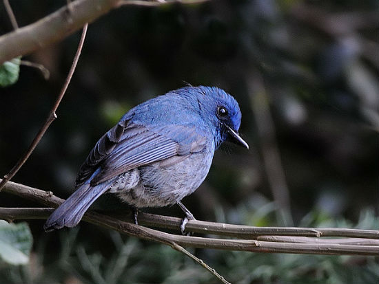 Nilgiri flycatcher image by Shrikant Rao