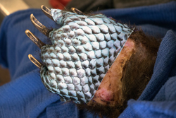 Tilapia skin used to treat the paws of bears burned in California's Thomas fires.