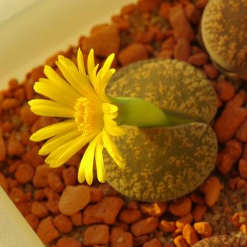 Lithops image by yellowcloud via Flickr