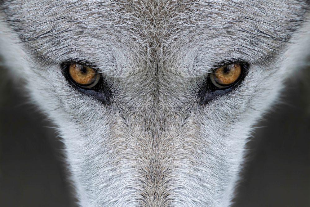 When a small number of wolves were reintroduced to Yellowstone National Park in the 70s,  the effects were dramatic and unexpected.