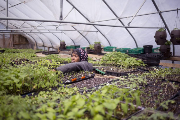 Batula Ismail works in the New Roots greenhouse. (Photo courtesy of New Roots)