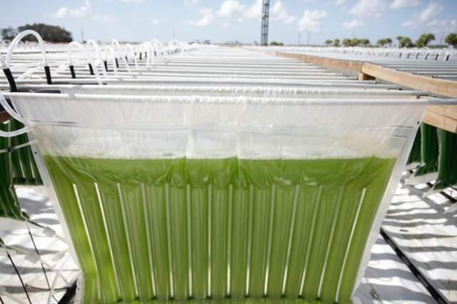 Algae at Algenol