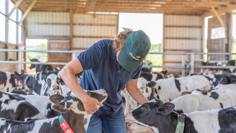 Chobani, calf, Fair Trade, dairy