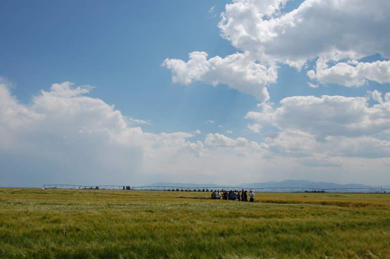 barley field, Molson Coors
