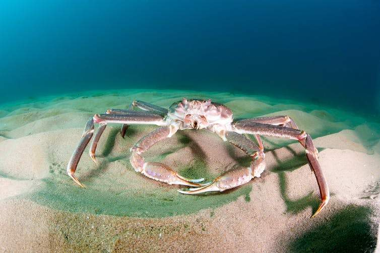 Snow crab, invasive species