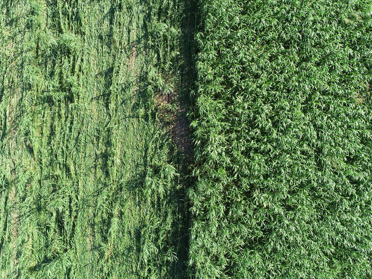A drone view of cover crops
