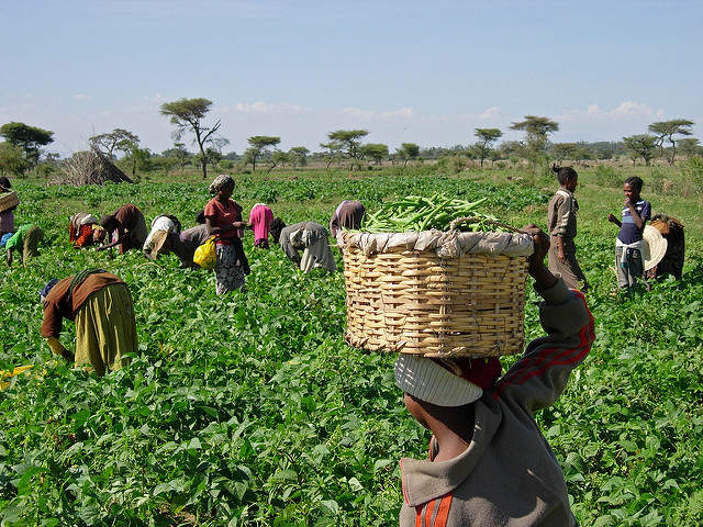 Farmers collecting food