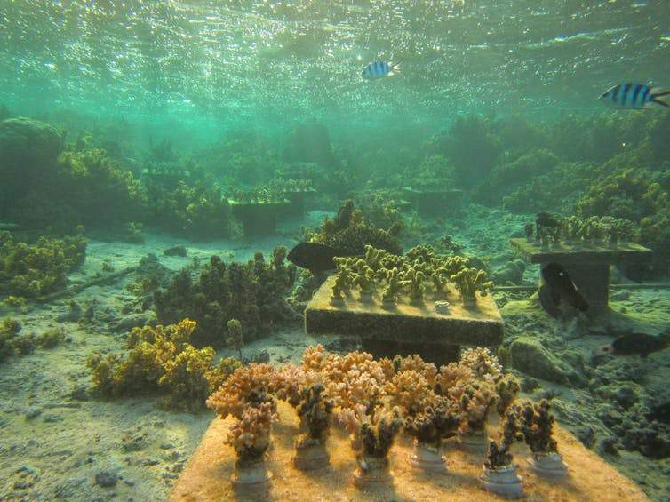 Experimental coral gardens on a degraded reef in Fiji