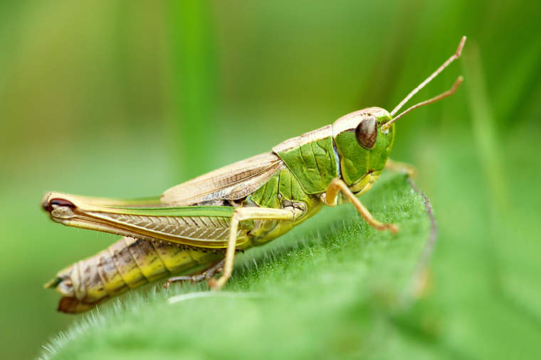 grasshopper in a meadow