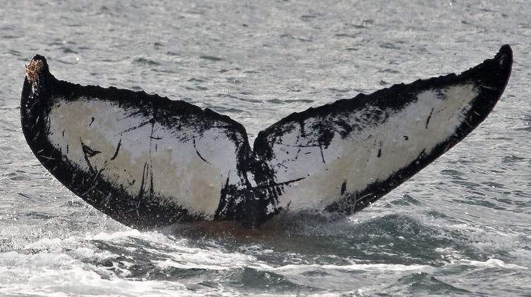 brownish water under humpback whale's fluke, fecal plume