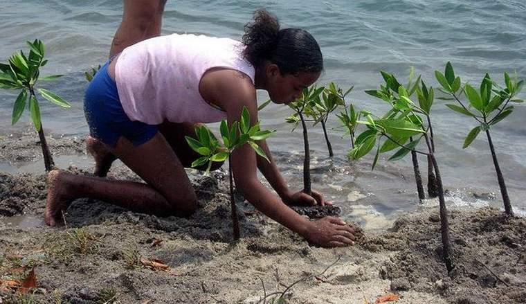 Planting mangroves in Belize