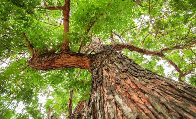 A neem tree