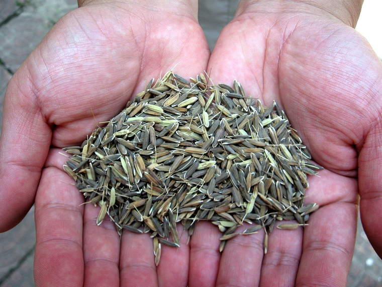 Perennial rice developed  by rice breeders at the Yunnan Academy of Agricultural Sciences in Hainan Province, PRC.