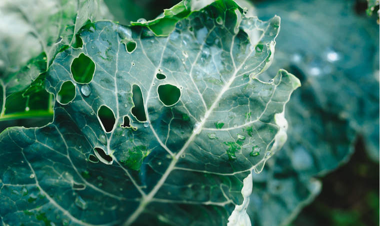 Young leaves of cabbage are damaged by plant pests