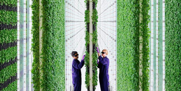 Plenty, kale, vertical farm