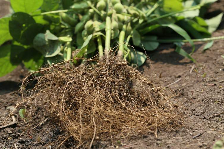 Root nodules in legumes