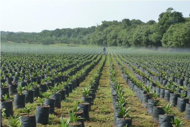 palm oil sapling field