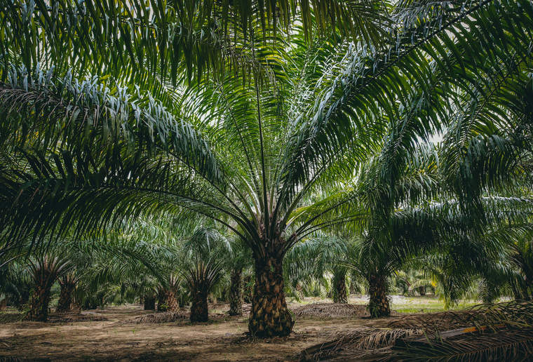 Smallholder palm plantation