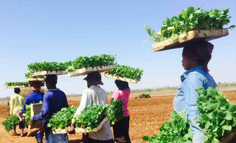 Workers in Africa transplant Solaris tobacco plants