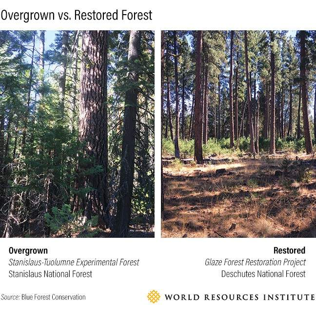 Overgrown versus restored forest
