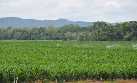 deforestation, sustainable palm oil