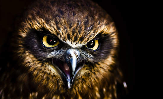 Owl with open beak and cranky expression