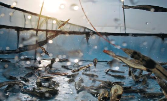shrimp in an aquaculture pond.