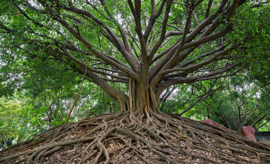 Banyan tree with extensive roots