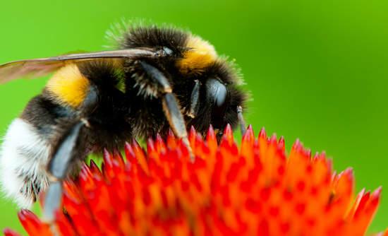 Bee on echinacea flower