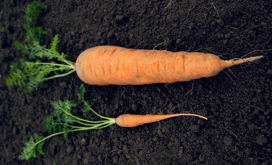 Big carrot, little carrot