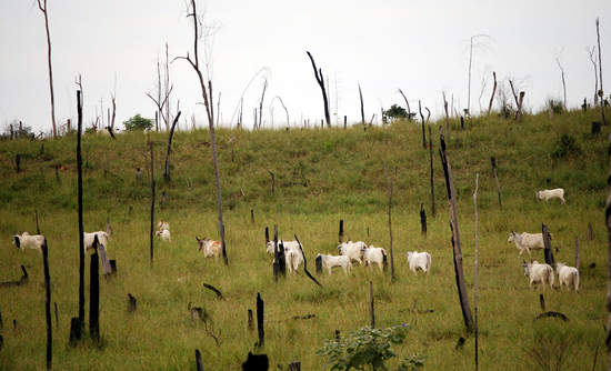 Cattle Deforestation