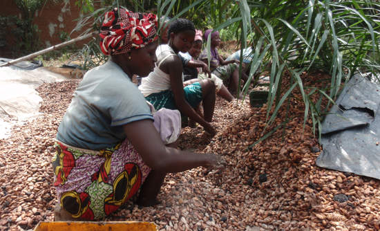 Women from Ivory Coast working in the countryside for cocoa production, extracting and washing cocoa beans before drying them.