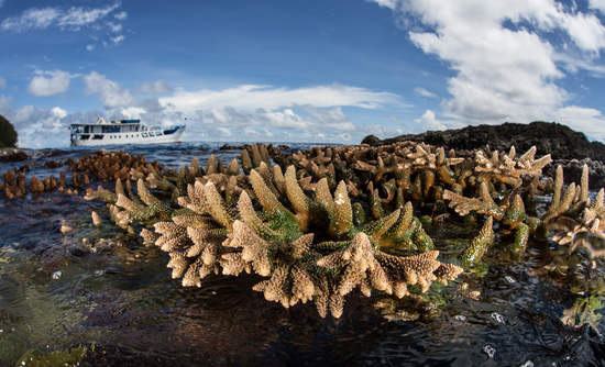 A coral colony is exposed to air at low tide in the Solomon Islands.