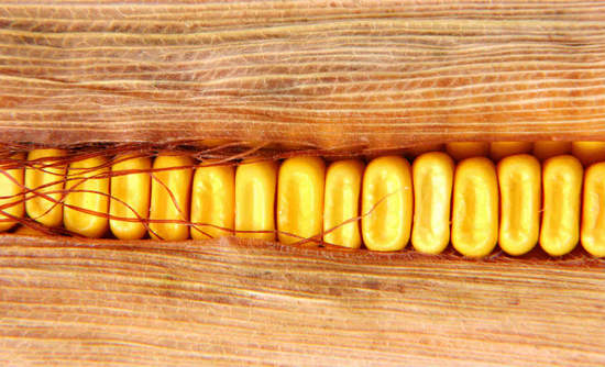 Closeup of corn in husk