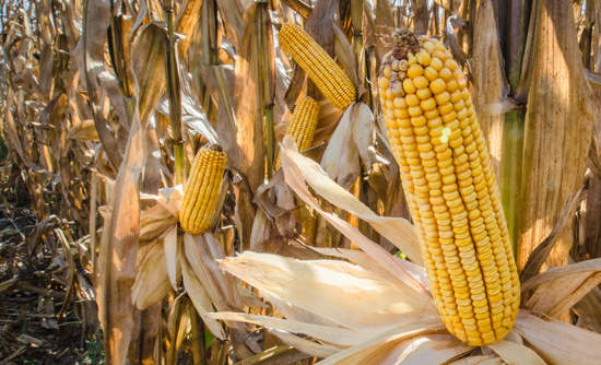 Feed corn, ready to harvest on the stalks