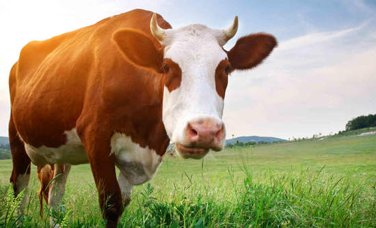 Dairy cow in meadow