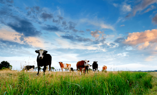 Farms are going carbon-neutral — and cows are leading the