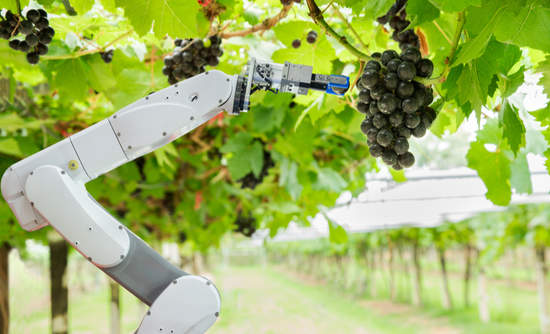 Agricultural robot assistant harvesting grapes to analyze the grape growth