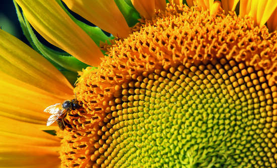 Honeybee on a sunflower