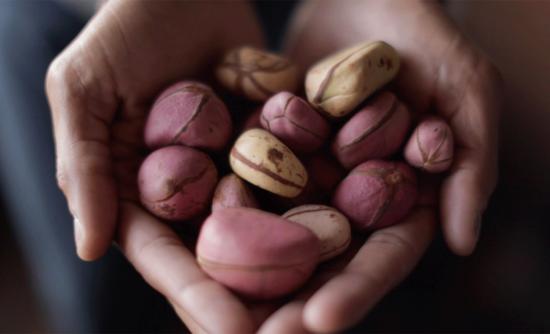 kola nut is the fruit of the kola tree