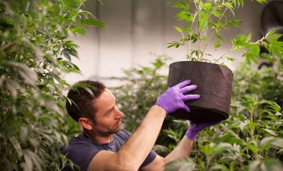 Colorado California marijuana sustainability organic