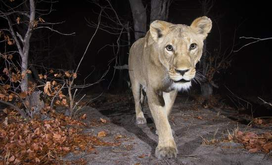 Lioness, camera trap, Google, Wildlife Insights