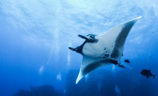 manta ray in ocean