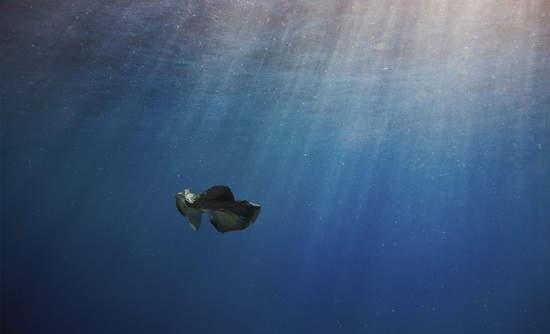 manta ray feeds amidst plastic pollution